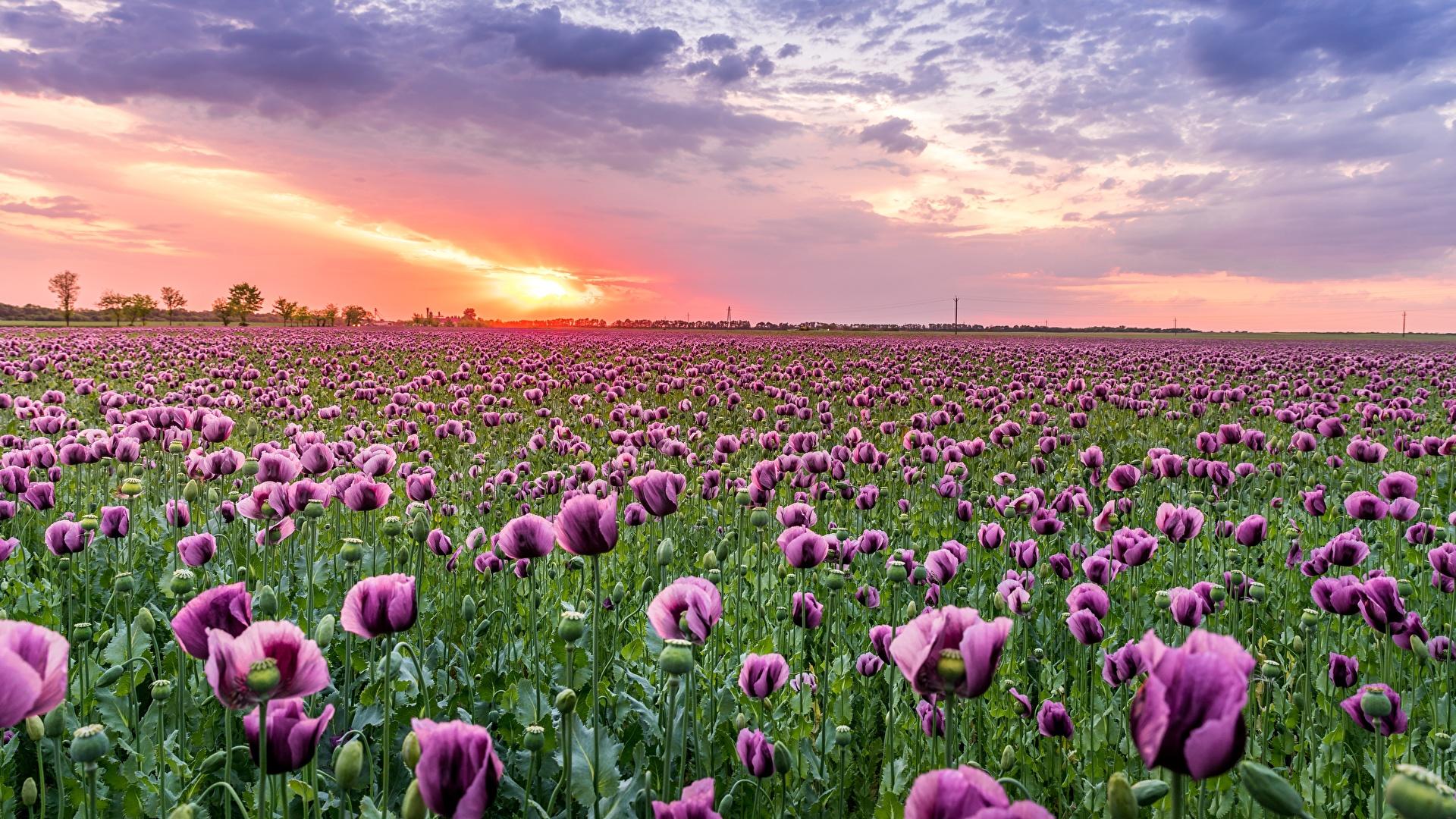 Картинка Природа Поля Маки Цветы Рассветы и закаты 1920x1080