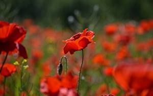 Обои Крупным планом Маки Боке Бутон Красные цветок