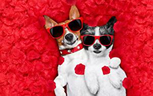 Фотографии Собаки Джек-рассел-терьер Двое Лепестки Очках Смешные