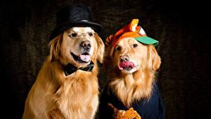 Фото Собаки Золотистый ретривер Две Шляпа Животные