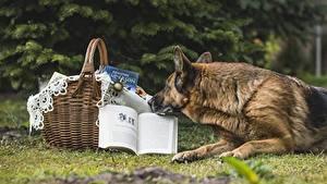 Обои Собаки Овчарка Корзинка Книга Животные