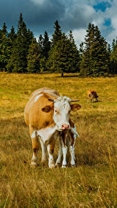 Фотографии Германия Луга Корова Cologne животное Природа