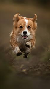 Фотография Собаки В прыжке Бегущая Вельш-корги