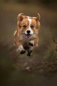 Фотография Собаки В прыжке Бегущая Вельш-корги Животные