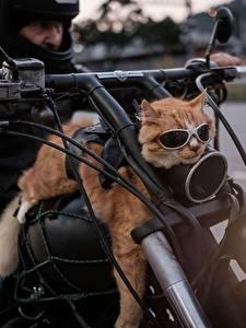 Фотография Кошки Мотоциклист Очках Смешные Животные