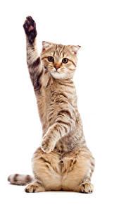 Фотография Кошки Белый фон Смотрит Лапы Животные