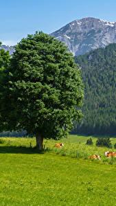 Картинки Австрия Горы Леса Коровы Луга Дерева Траве Saalfelden am Steinernen Meer
