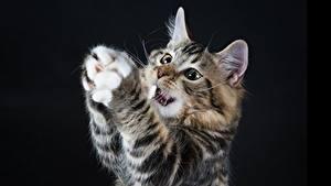 Картинки Кошка Черный фон Лапы Животные