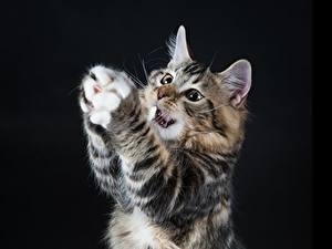 Картинки Коты Черный фон Лапы Животные