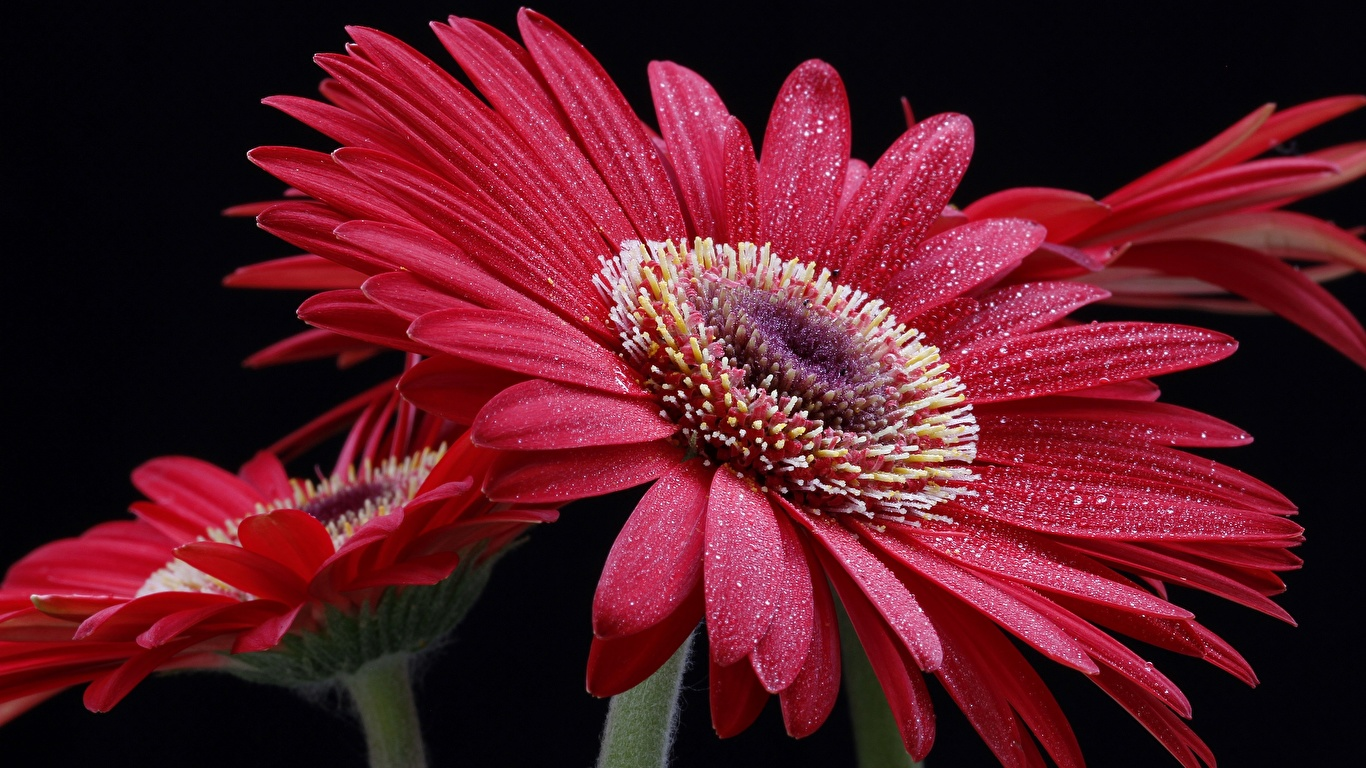 Картинки гербера Капли цветок на черном фоне Крупным планом 1366x768 Герберы капля Цветы капель капельки вблизи Черный фон