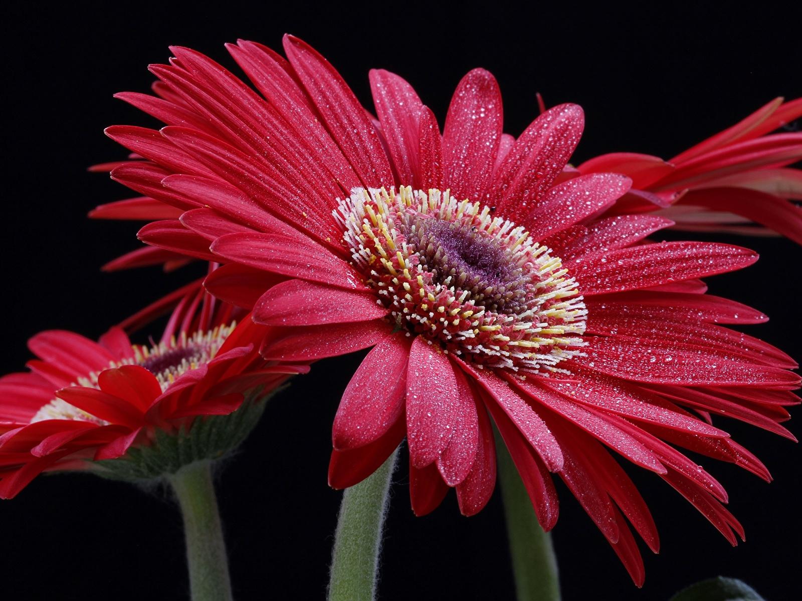 Картинки гербера Капли цветок на черном фоне Крупным планом 1600x1200 Герберы капля Цветы капель капельки вблизи Черный фон