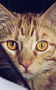 Картинки Кошки Смотрит Морда Животные
