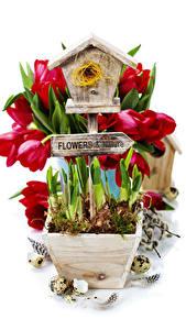 Фото Тюльпаны Перья Белый фон Гнездо Яйца Цветы