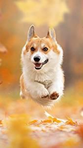 Фото Осенние Собака Листва Бежит Вельш-корги Боке животное