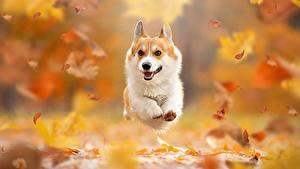 Обои для рабочего стола Осенние Собака Листва Бежит Вельш-корги Боке животное