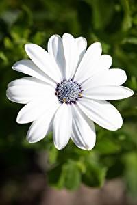 Фотографии Вблизи Остеоспермум Боке Белая цветок