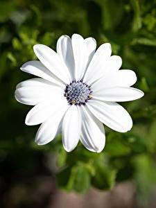 Обои для рабочего стола Вблизи Остеоспермум Боке Белая цветок
