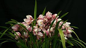 Фотографии Орхидея Много На черном фоне Цветы