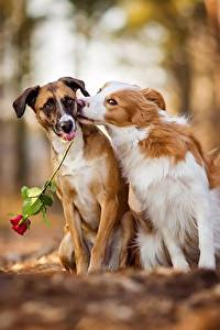 Картинки Собака Любовь Роза Вдвоем Животные