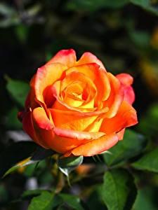 Обои Розы Крупным планом