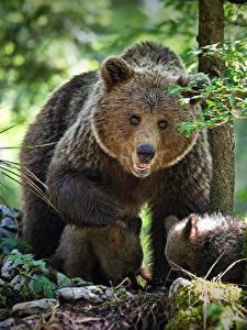 Фотографии Медведи Бурые Медведи Детеныши Мать Три Alexander Perov Животные