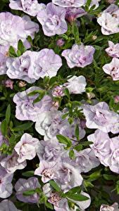 Картинки Калибрахоа Много Вблизи Цветы