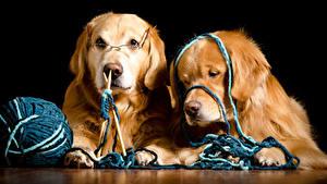 Картинка Собаки Золотистый ретривер На черном фоне 2 Ретривер Очков животное