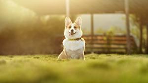 Фотографии Собака Вельш-корги Размытый фон животное