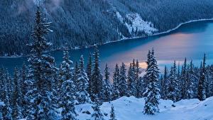 Фото Леса Канада Ель Дерево Банф Peyto Lake Природа