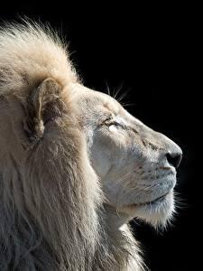 Картинка Львы Белый Голова Черный фон Животные
