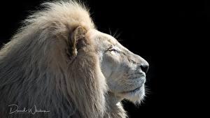 Картинка Лев Белый Голова На черном фоне Животные