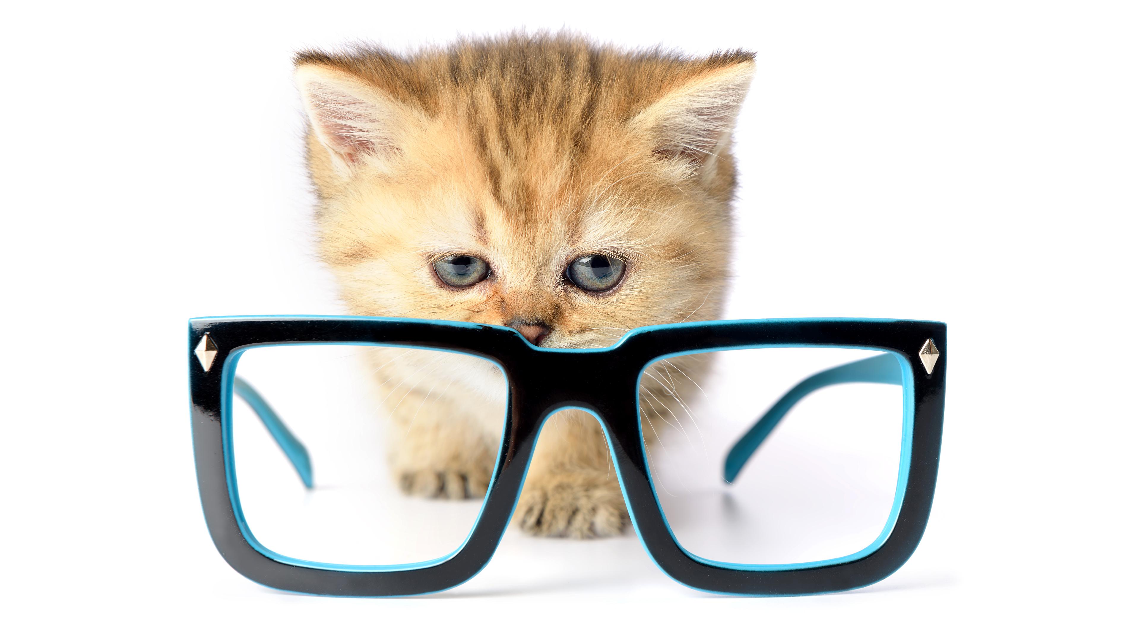 Обои для рабочего стола Котята коты Очки Животные белом фоне 3840x2160 котят котенка котенок кот кошка Кошки очках очков животное Белый фон белым фоном