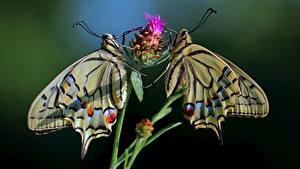 Фотография Бабочка Боке 2 Papilio machaon животное