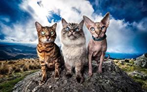 Обои для рабочего стола Коты Сфинкс кошка Бенгальская кошка Втроем Смотрит HDRI Neva Masquerade животное