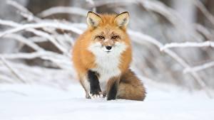 Фото Зимние Лисица Боке Снега Рыжие Смотрит животное