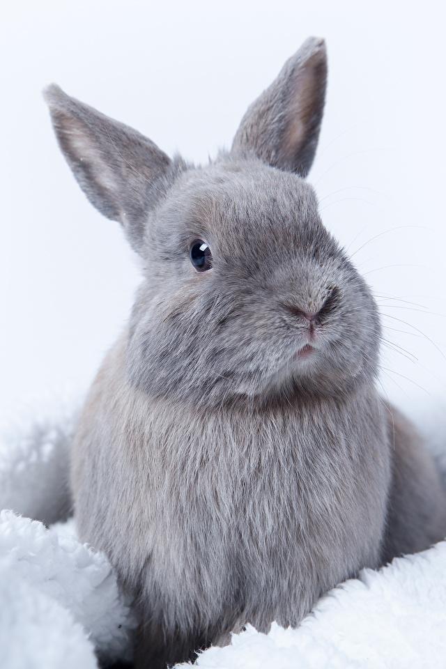 Обои для рабочего стола кролик серая животное 640x960 для мобильного телефона Кролики Серый серые Животные