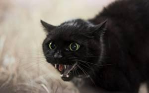 Фотография Коты Клыки Черный Злость Морда Животные