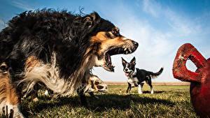 Фото Собаки Злость Бордер-колли Аусси