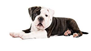 Фотографии Собака Белым фоном Бульдог Животные
