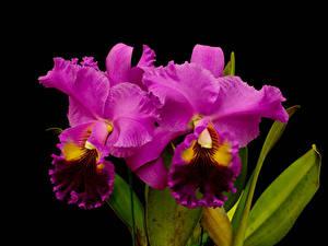 Фотографии Орхидеи Вблизи Черный фон Розовый Цветы