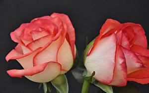 Обои Розы Крупным планом Черный фон 2 Цветы