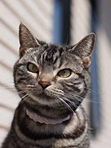Фотография Коты Смотрят Морды животное