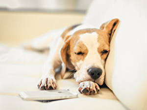 Фотография Собаки Бигля Спят Лапы Животные