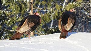 Обои Птицы Зимние Снег 2 Domestic turkey Животные