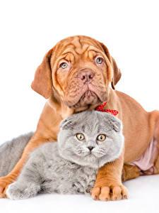 Фотографии Кот Собаки Белый фон Двое Взгляд Бордоский дог животное