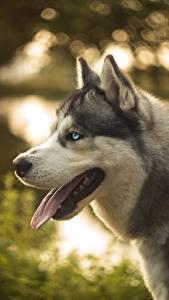 Фотография Собака Хаски Языком животное