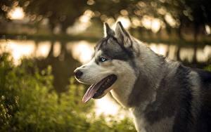 Фотография Собака Хаски Языком