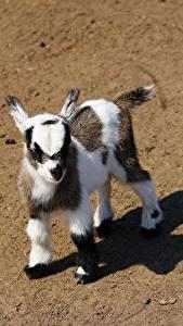 Картинка Коза козел Детеныши Смотрит Тень животное