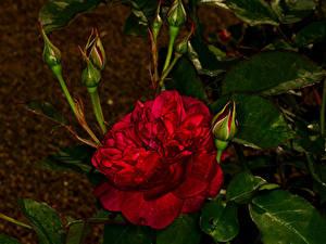 Фотография Роза Крупным планом Бутон Красные