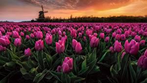 Фотографии Тюльпаны Поля Нидерланды Вечер Розовый Цветы